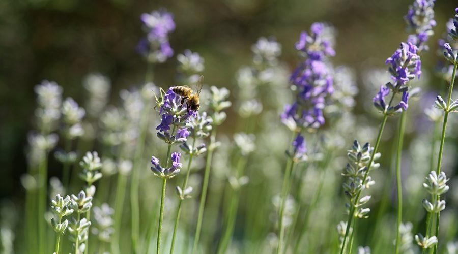 Por qué la agricultura ecológica puede salvar a las abejas